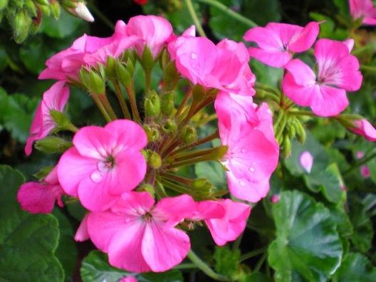 hoa-phong-lu thao2